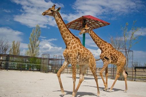 "В сафари-парке ""Тайган"" живет единственная пара жирафов в Украине. Фото Сергея ТАРАДАЕВА."