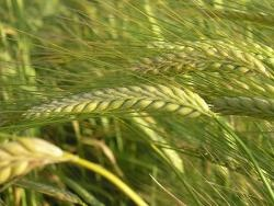 Домашней пшенице вернули ген дикого предка