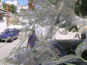 Севастополь подвергся массовому нашествию гусениц белой американской бабочки.